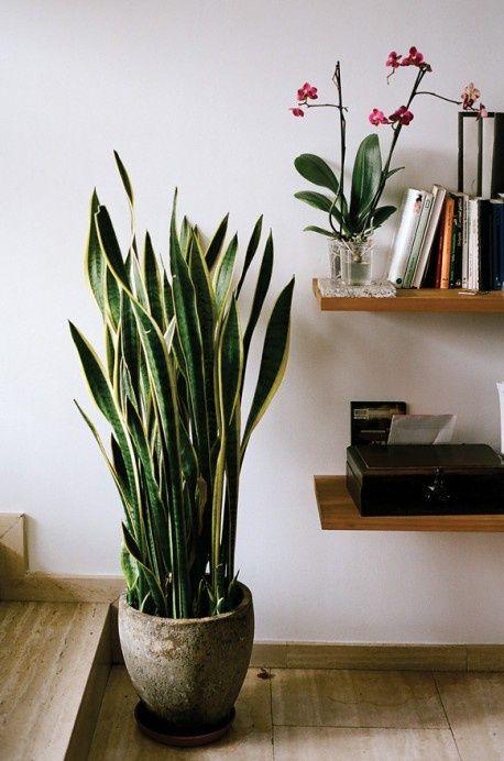 Сансевиерия в интерьере квартиры фото