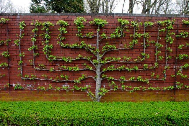 Живая изгородь своими руками девичий виноград
