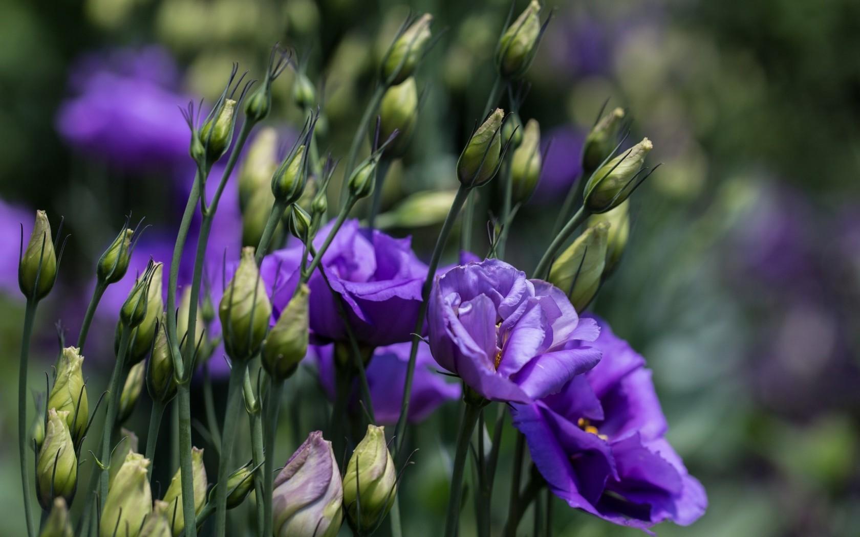 обои для рабочего стола эустома цветы № 634122 бесплатно