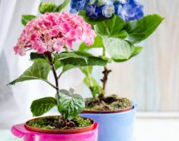 Гортензия – гордость сада и украшение дома