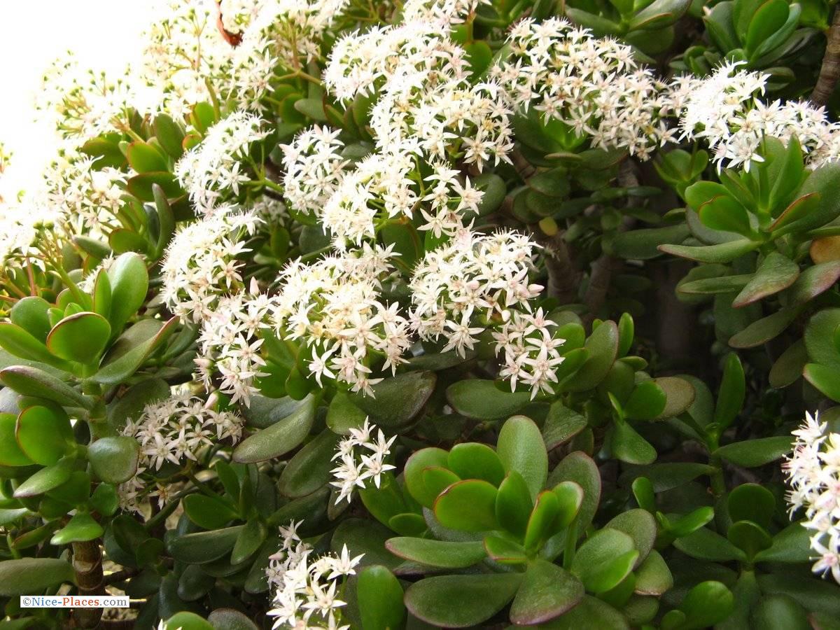 цветет ли денежное дерево в домашних условиях фото применения гладиолусов