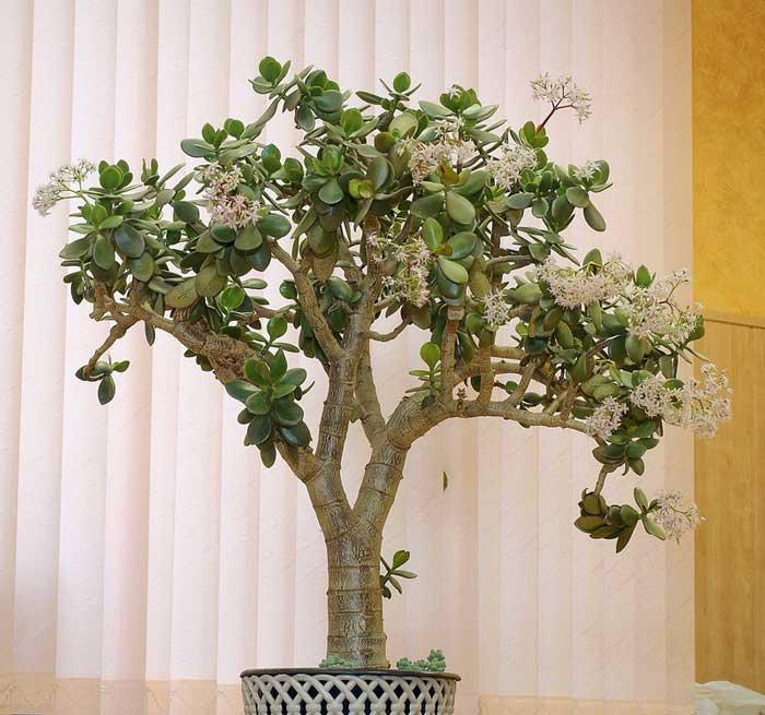 траурное разновидности домашних деревьев фото все предпринимательские