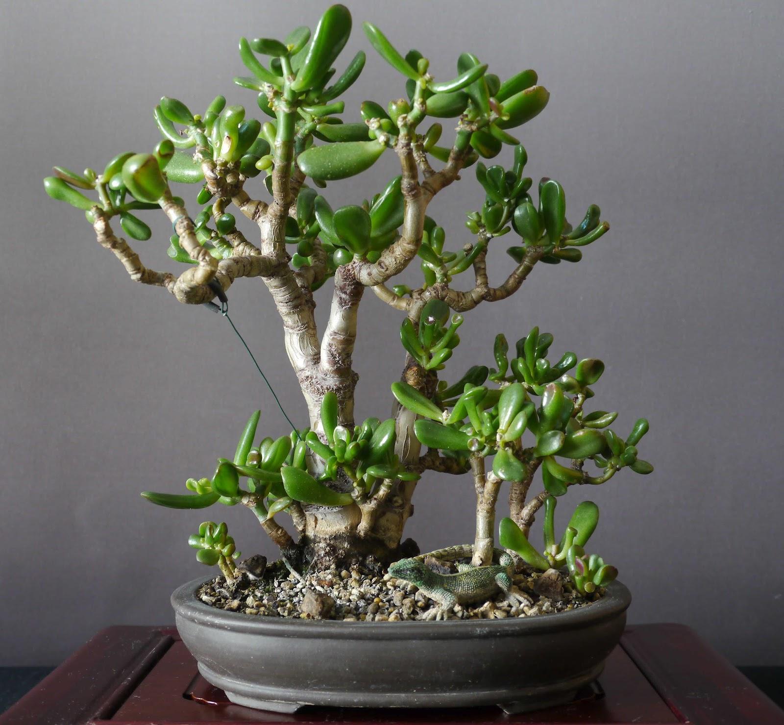 цветок денежное дерево фото разновидности