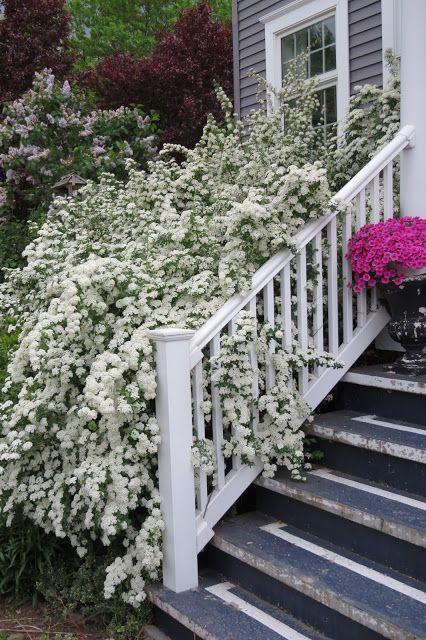 белые цветы для сада