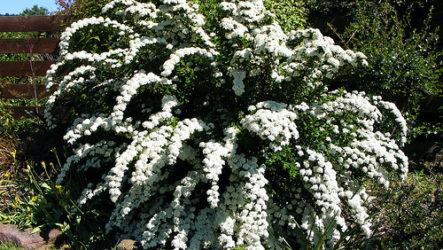 Спирея в садовом дизайне