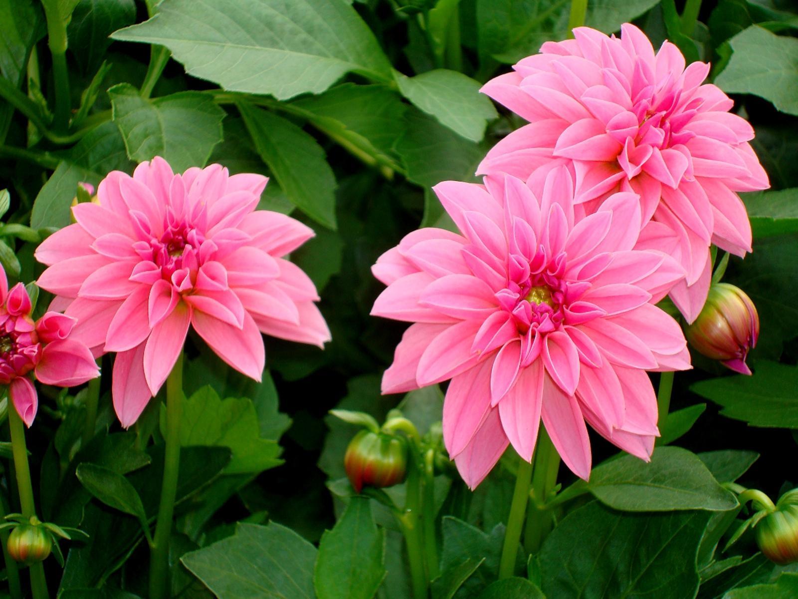 Как выглядит цветок георгина