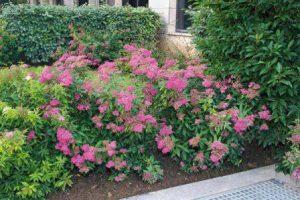 spiraea-japonica-dart-s-red