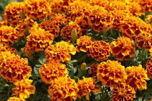 kakie-odnoletnie-cvety-vse-leto-budut-ukrashat-sad