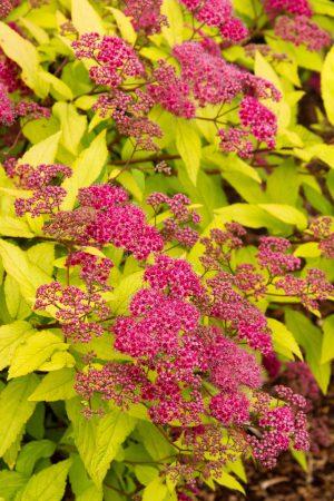 spiraea_japonica_11
