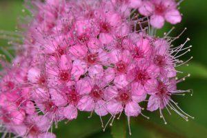 Spiraea Japonica Flowers