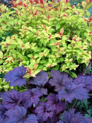 spiraea_japonica_55