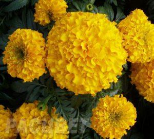 tagetes-antigua-yellow_700x630