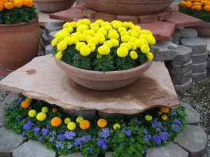 tagetes-erecta-discovery-yellow-w1651-3