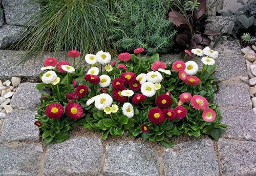 Рассада многолетних цветов для клумбы 6