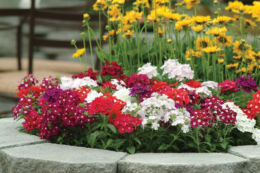 Вербена цветов на клумбе