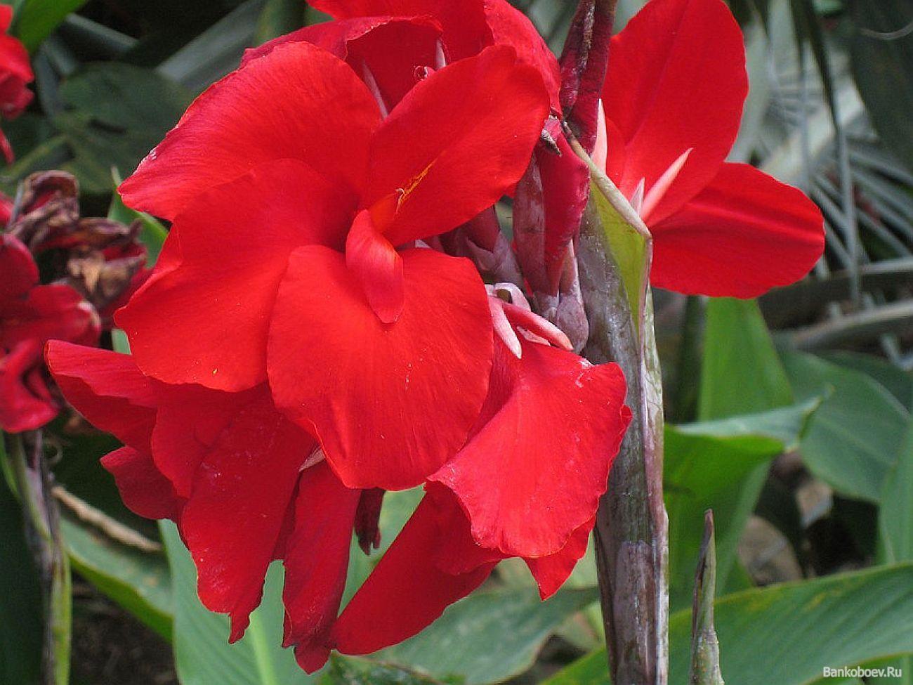 фото цветы канна