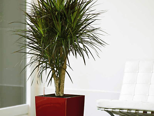 Драконовое дерево уход в домашних условиях