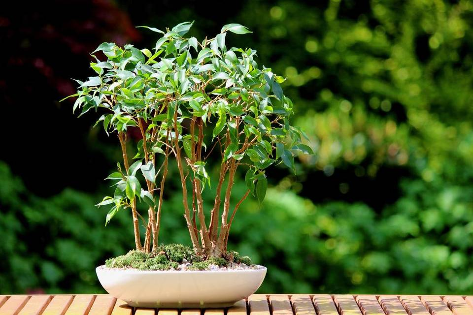 Выращивание уход за фикусами в домашних условиях