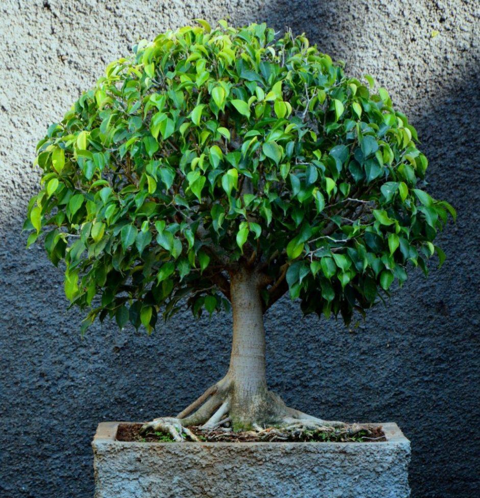 Как сделать фикус бенджамин деревом
