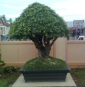 Ficus-Benjamina-Bonsai