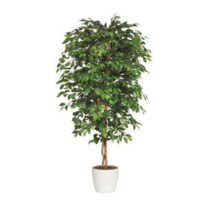 ficus-benjamina-plant