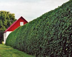 Зеленая живая изгородь на даче из кустарников и деревьев