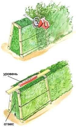 живая изгородь