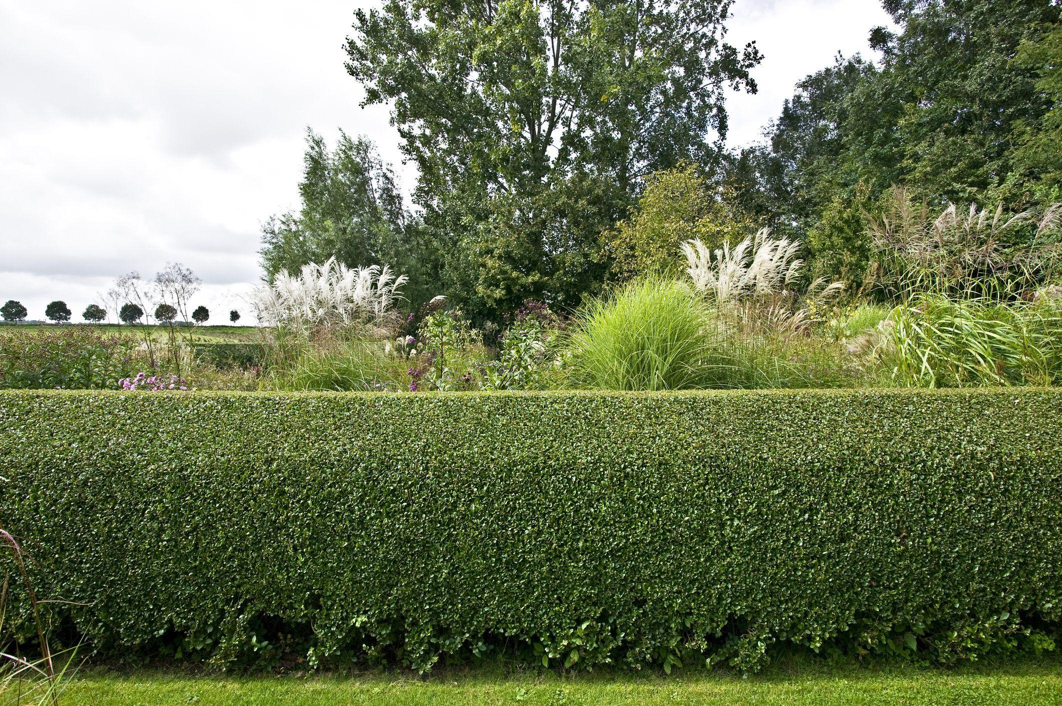 кравчука живую изгородь в картинках многом, это