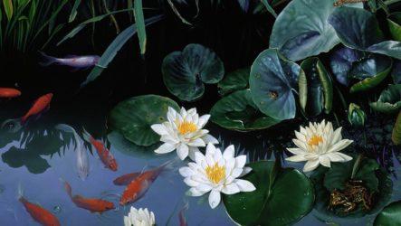Нимфея в аквариуме и для пруда