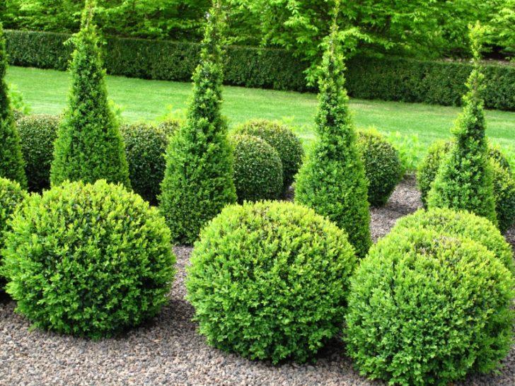 хвойные растения для сада