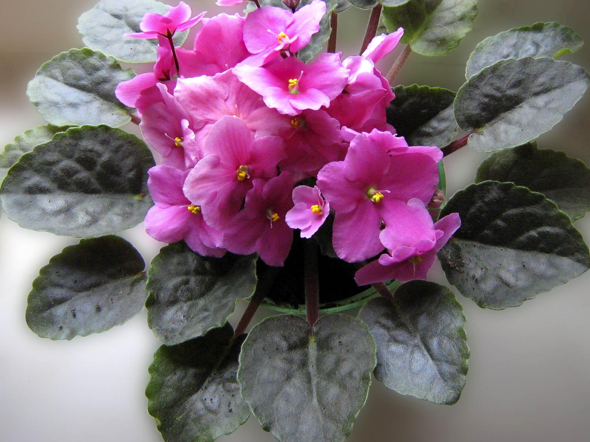 Фото цветка фиалки