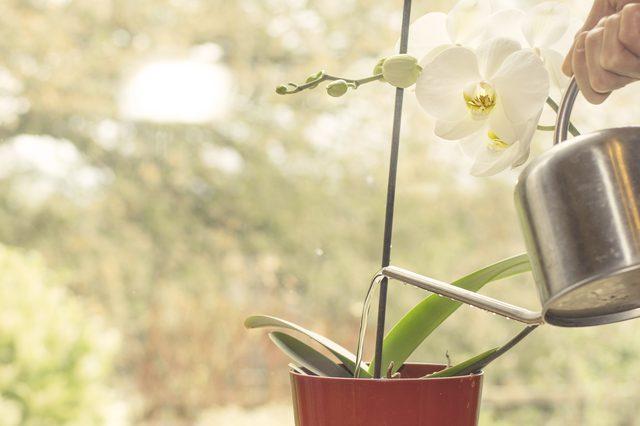 орхидея, уход в домашних условиях