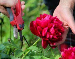 Сорта и виды пионов, особенности выращивания, правила ухода