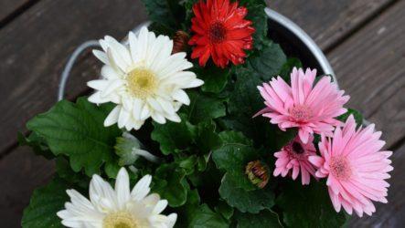 Выращивание герберы и уход за ней в домашних условиях и в саду