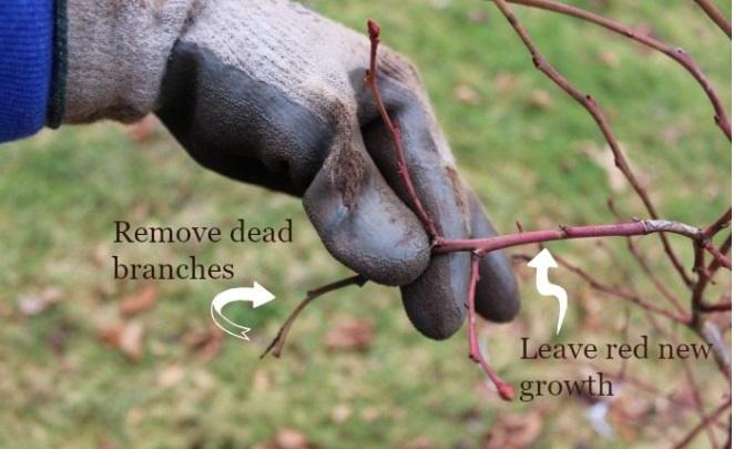 как вырастить голубику